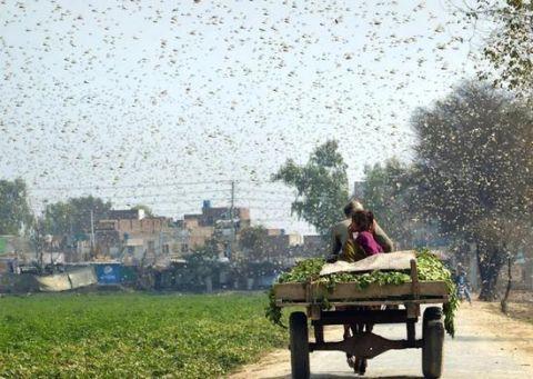 10万鸭子出征灭蝗 为什么是鸭子?